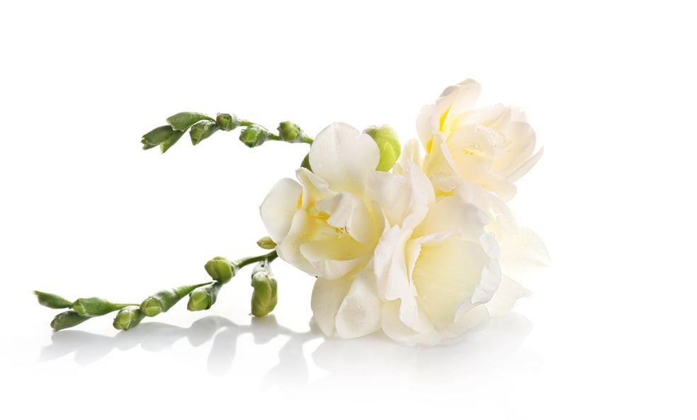Trust symbol white freesia